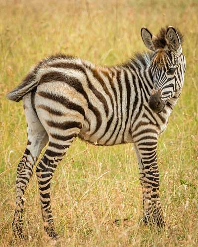 animal Zebra macro photography zebra