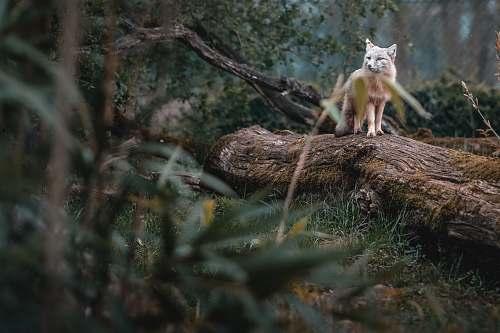 fox  kit fox