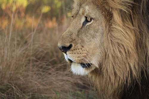 lion  mammal