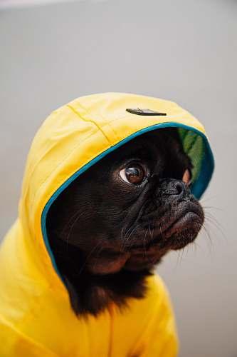 dog adult black puppy in yellow raincoat pug