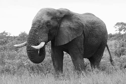 black-and-white adult elephant eating on grass during day elephant