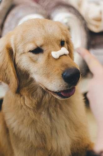 dog adult golden retriever with cookie bone on nose golden retriever