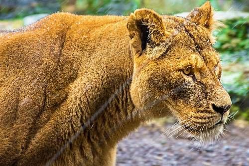 mammal adult lioness lion