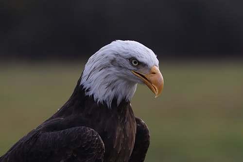 bird American eagle during daytime eagle
