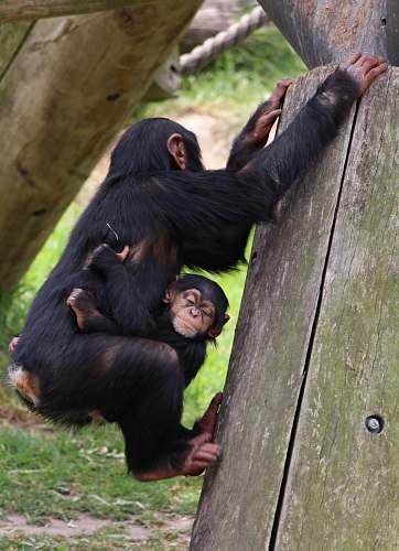 mammal baby hugging chimpanzee hanging on wooden frame ape