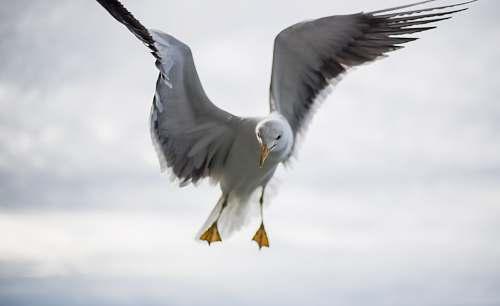 bird bald eagle flying