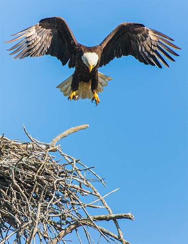 bird bald eagle flap its wing from nest eagle