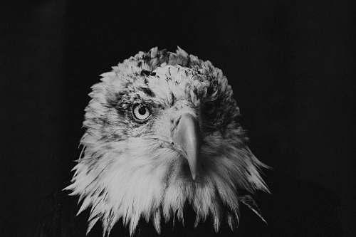 bird bald eagle greyscale photography black-and-white