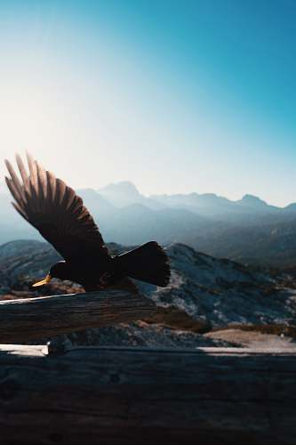 bird bald eagle on flight eagle