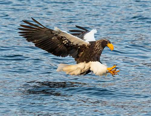 bird bald eagle on sea eagle