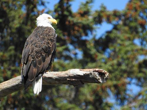 bird bald eagle standing on tree branch eagle
