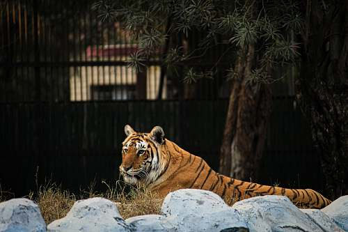 wildlife Bengal tiger lying down on a rock mammal