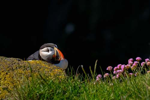 photo bird bird on the grass field photography puffin free for commercial use images