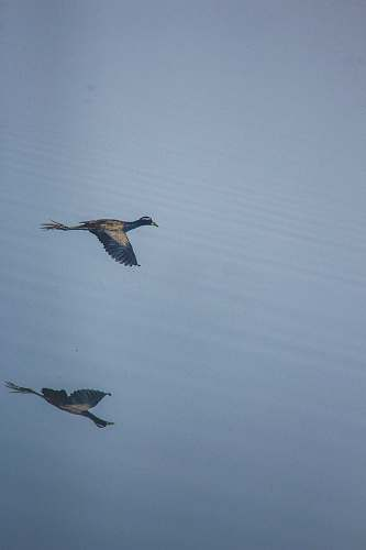 photo bird black and gray duck flying over the body of water grey free for commercial use images