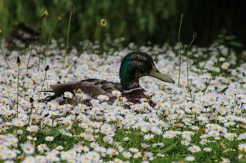 photo bird black and green mallard duck waterfowl free for commercial use images