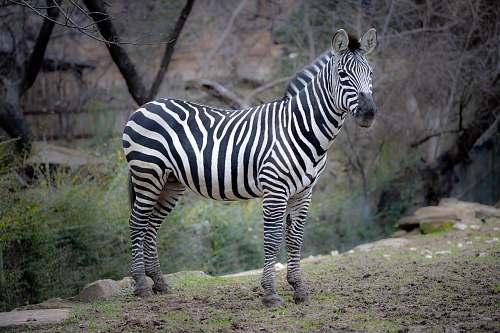 mammal black and white zebra standing on green grass field wildlife