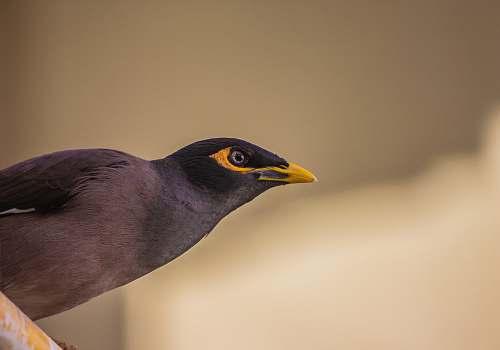 india black bird gandhinagar