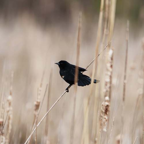 photo bird black bird perched on grass grass free for commercial use images