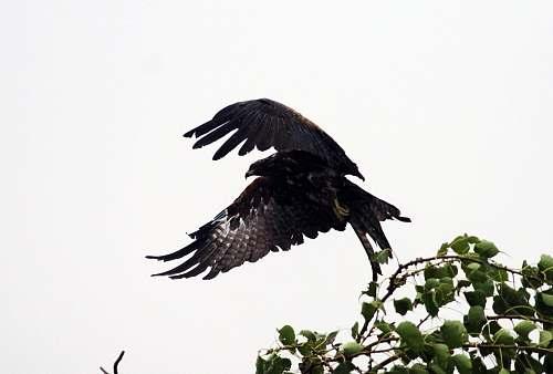 bird black eagle during daytime eagle