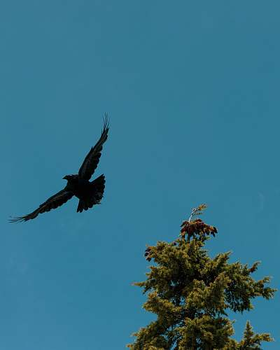 bird black eagle flying near tree flying