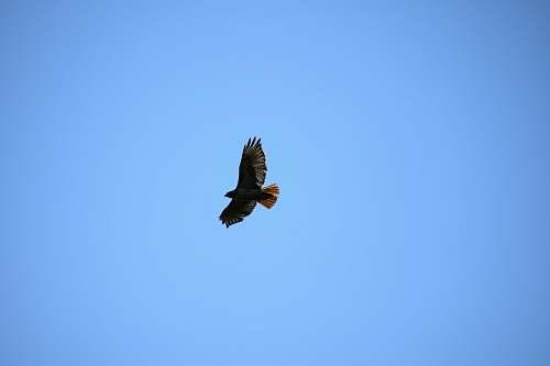bird black eagle on sky flying