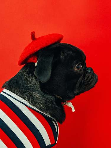 dog black fawn pug wearing white and red striped shirt pet