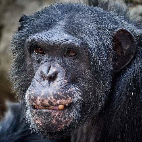mammal black monkey during daytime ape