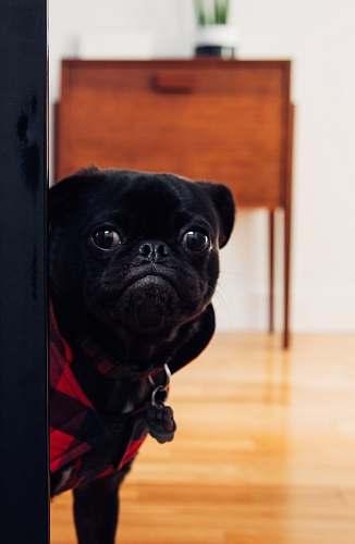 dog black pug standing on floor pug