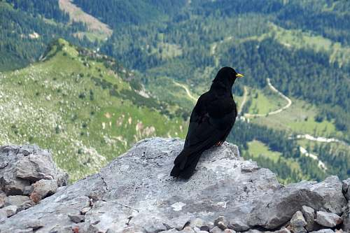 bird black raven on top of the mountain during daytime nature