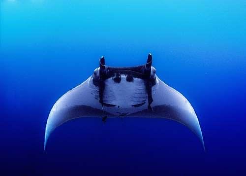 fish black sting ray manta ray