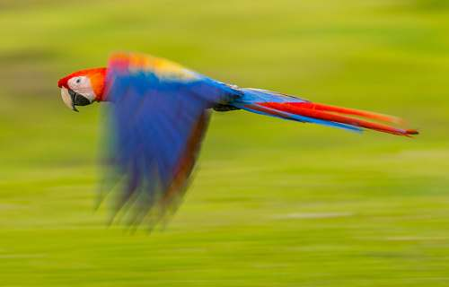 photo bird blue and red parrot macaw free for commercial use images