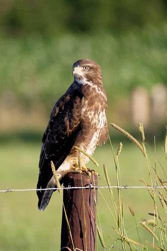 bird brown and white eagle photography buzzard