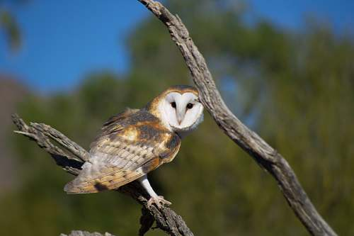 bird brown and white owl standing on branch arizona-sonora desert museum