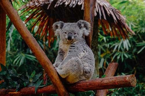 wildlife brown animal on branch koala