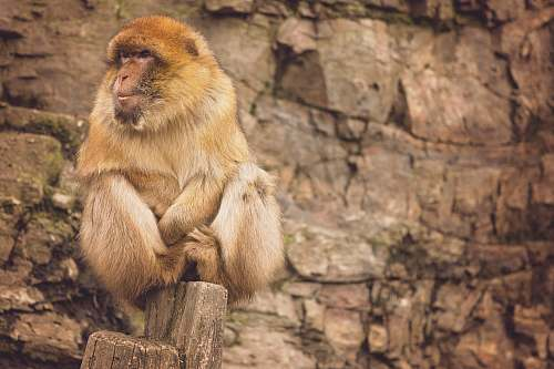 mammal brown baboon sitting on rock formation at daytime monkey