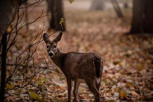 antelope brown deer mammal