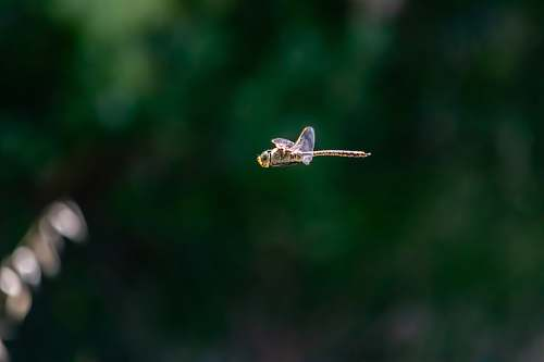 photo insect brown dragonfly flying invertebrate free for commercial use images