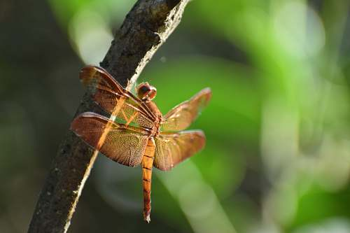 photo insect brown dragonfly invertebrate free for commercial use images
