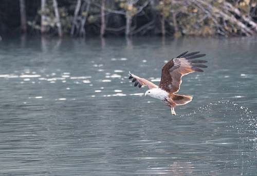bird brown eagle above body of water flying