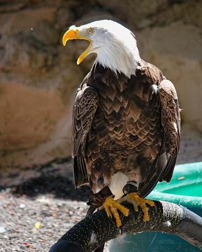 bird brown eagle eagle