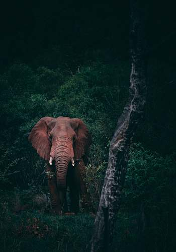 elephant brown elephant beside green trees mammal