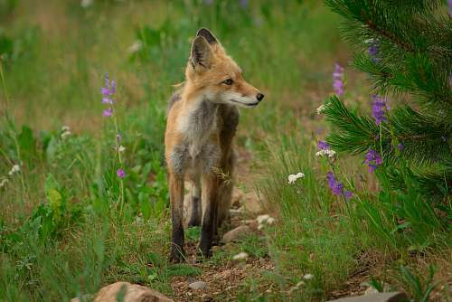 fox brown fox on green grass during daytime wildlife