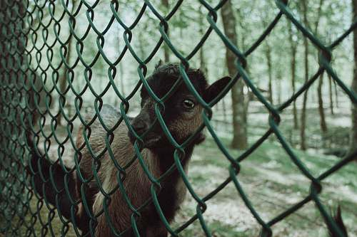 ape brown goat beside wire fence mammal