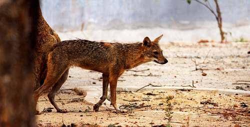 wildlife brown hyena on desert selective-focus photography fox