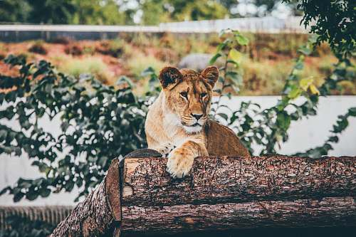 lion brown lioness laying on tree stem lioness