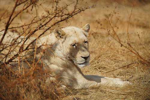 mammal brown lioness lying on brown grass lion