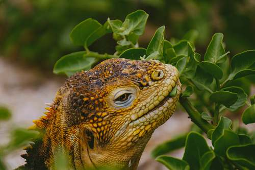 iguana brown lizard eating leaf in close-up photography lizard