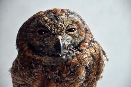 bird brown owl close-up photo owl