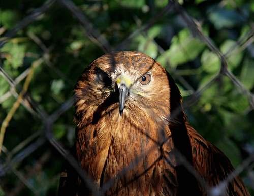 bird brown owl near fence buzzard