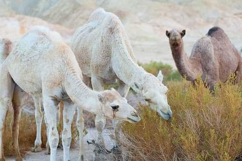 mammal camel eating bush camel